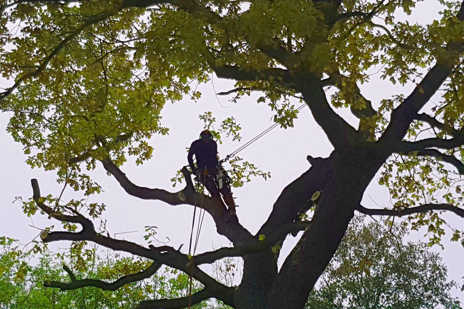 Baumpflegeschnitt und Astentlastung einer Eiche in Markkleeberg