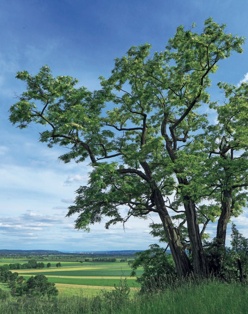 Baum des Jahres 2020 - Foto: © Andreas Roloff
