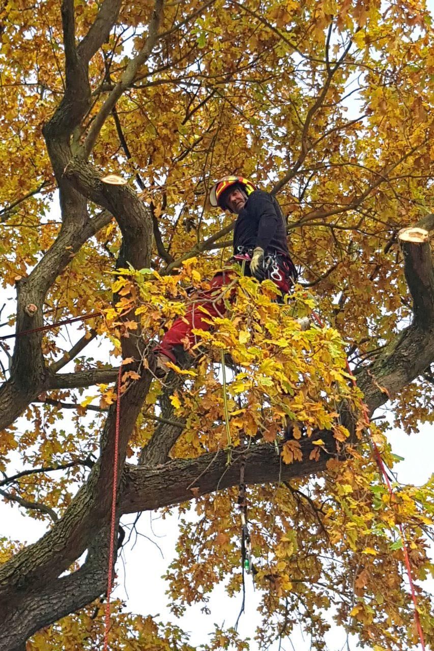 Entlastungsschnitt eines Ahornbaumes in einem Hinterhof in Leipzig Waldstraßenviertel