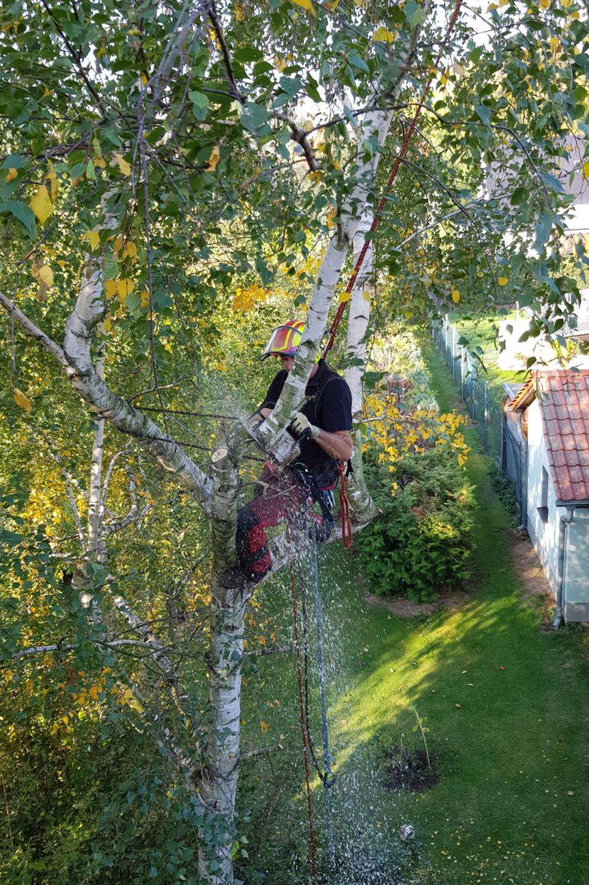 Fällung einer Birke im Leipziger Umland