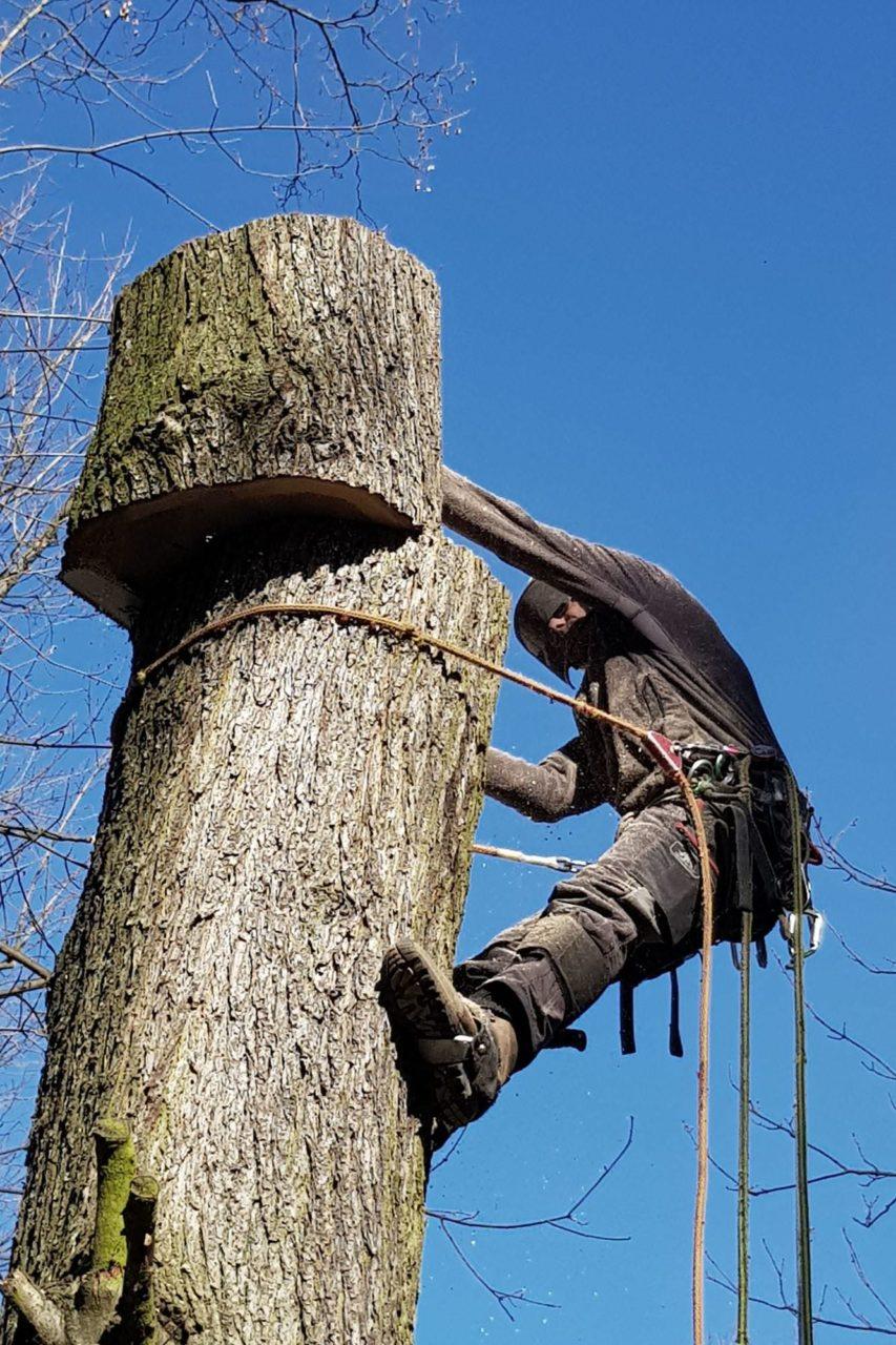 In Baalsdorf wird die Pappel scheibchenweise abgesägt und die Stammstücke gezielt nach unten geworfen